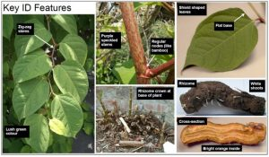 Identifying features of Japanese Knotweed