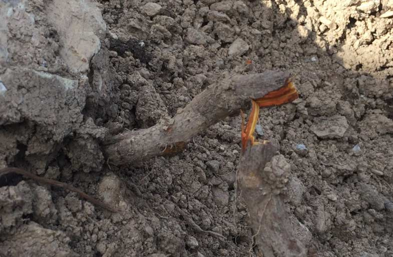 Japanese Knotweed root